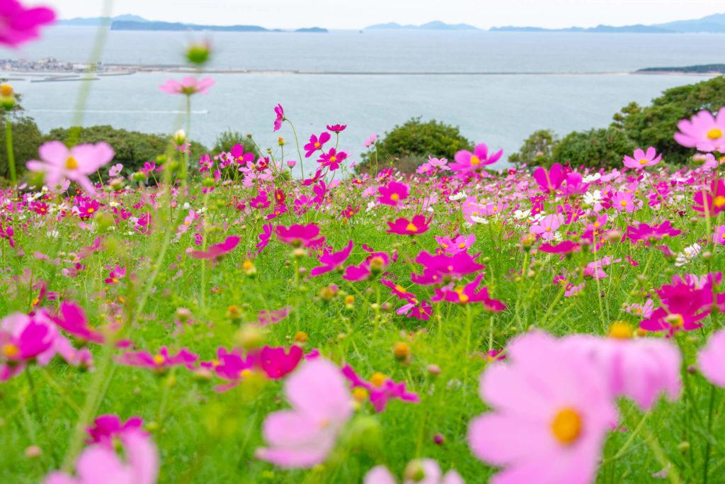 能古島のコスモス畑